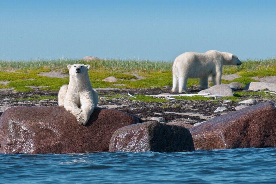 Eisbären an der Küste der Hudson Bay