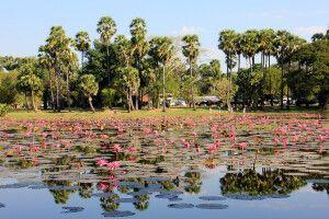 Seerosenblüte in einem Wasserspeicher in Angkor