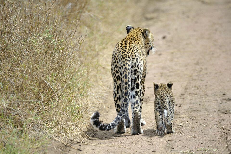 Erwachsener Leopard und sein Jungtier in Tansania