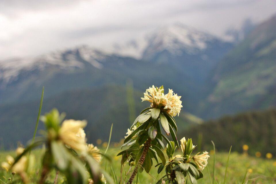 Kaukasus-Rhododendron