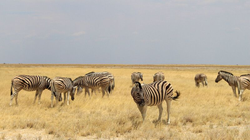 Zebraherde im Etosha NP © Diamir