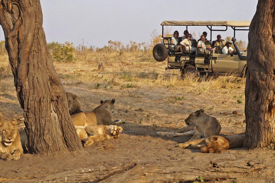 Löwenrudel im Hwange NP