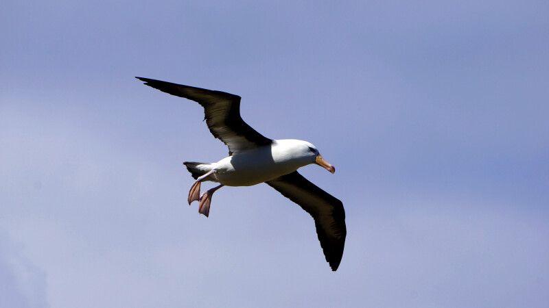 Schwarzbrauenalbatross im Flug © Diamir