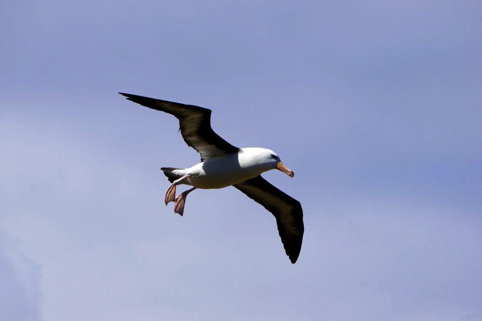 Schwarzbrauenalbatross im Flug