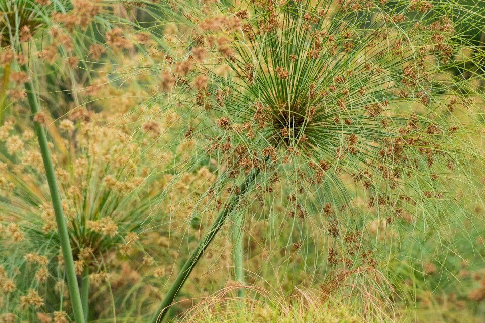 Papyrusgras säumt den Uferrand im Okavango-Delta