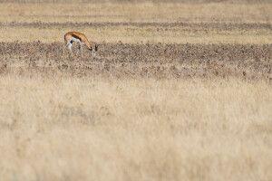Kalaharifarben – ein Springbock grast in der Savanne