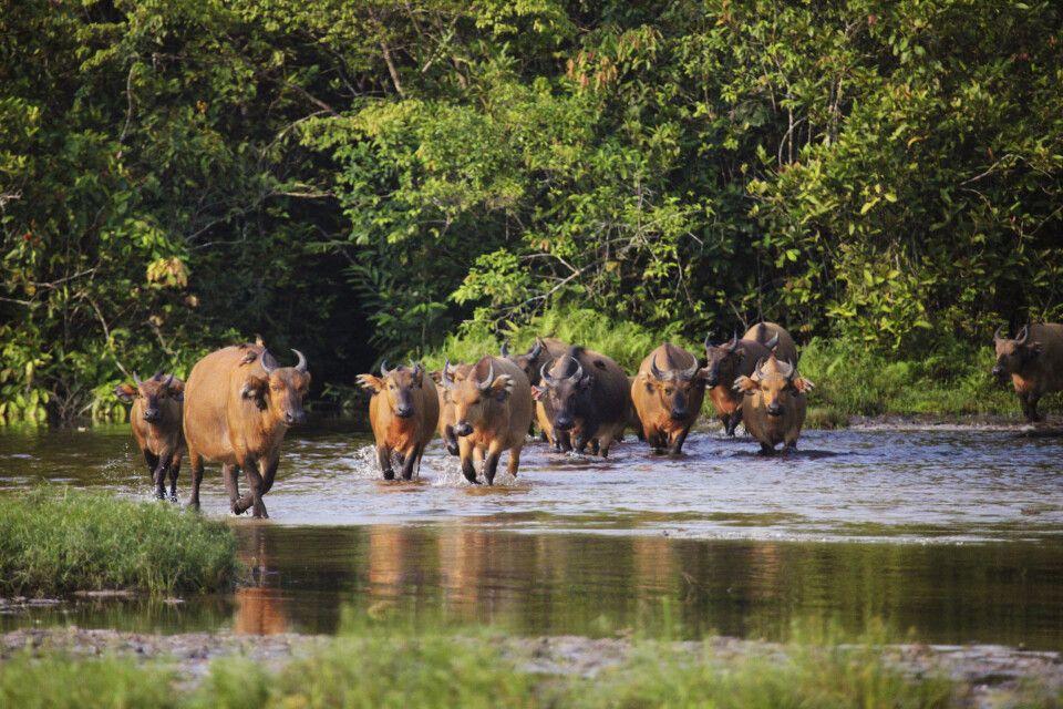 Wasserbüffel im Odzala-Kokoua-Nationalpark