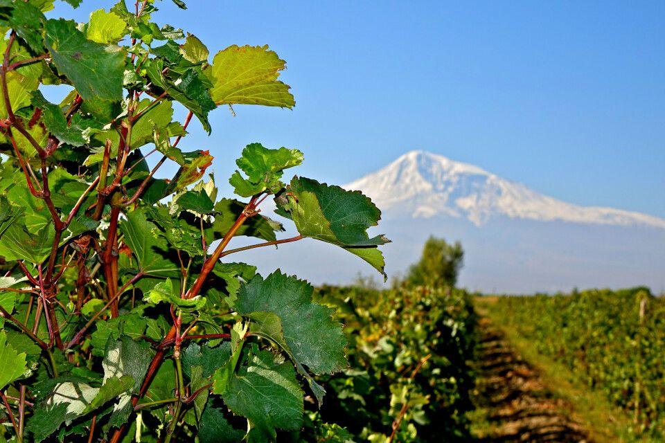 Weinstock im Ararat-Tal