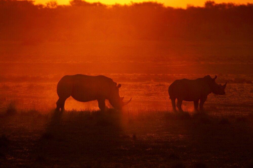 Nashörner im Sonnenuntergang