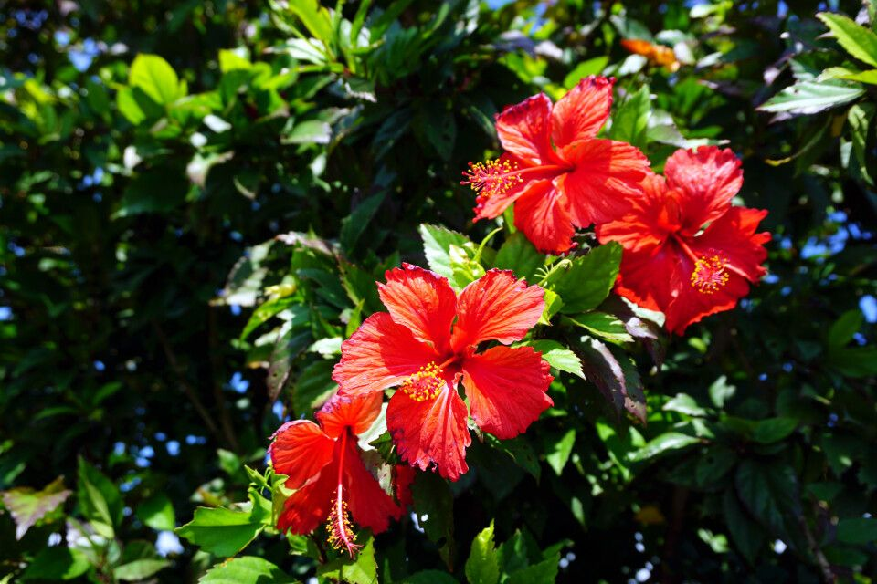Hibiskusblüten auf Fiji