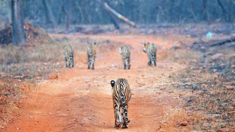 Tiger © Diamir