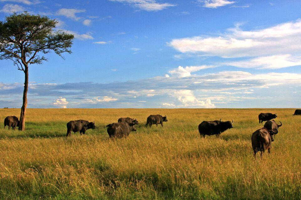 Büffel in der Masai Mara