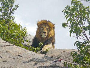 Der König der Tiere - Löwe in der Serengeti