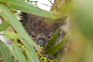 Koala in der Wildniss
