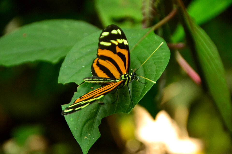 Costa Rica – Schmetterling