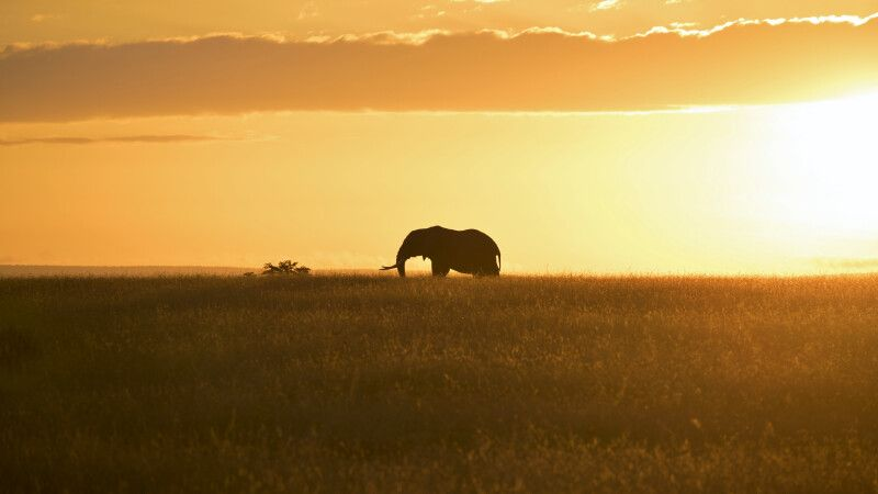 Elefant in der Masai Mara © Diamir