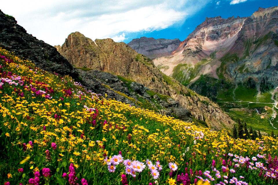Blumenwiese, Governor's Basin nahe Ouray, Colorado