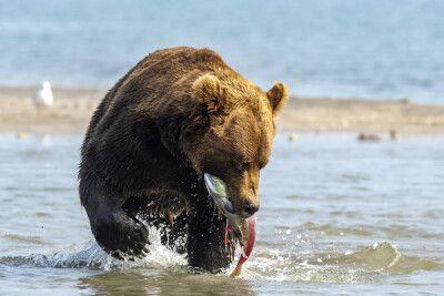 Bär beim Fischfang am Kurilensee
