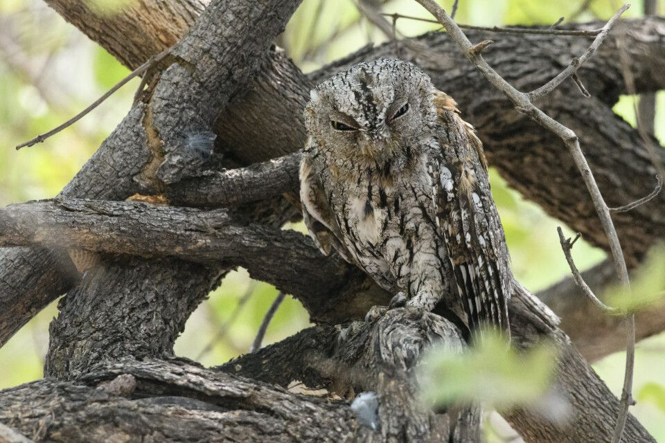 Riskiert ein (halbes) Auge: die Zwergohreule. Sie hatte sich als Ruheplatz einen Baum direkt im Camp ausgesucht.