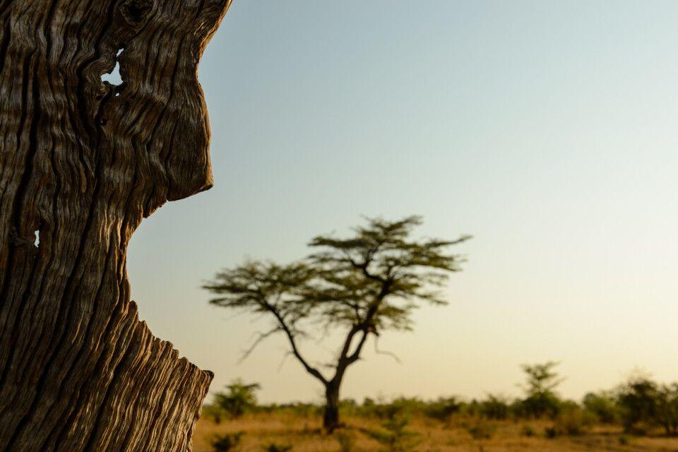 Der Baumfresser: An einem ausgehöhlten Stamm bot sich dieses Bild.