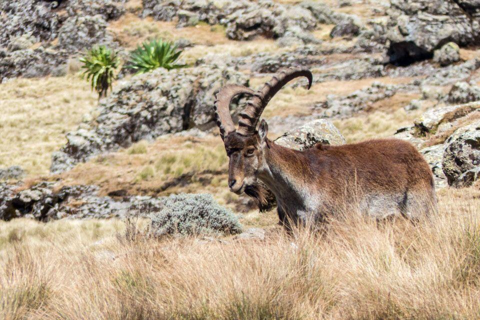 Äthiopische Steinbock in den Semien Bergen