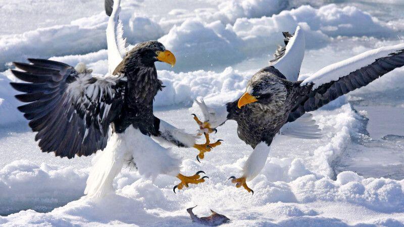 Riesenseeadler auf dem Packeis vor Rausu © Diamir