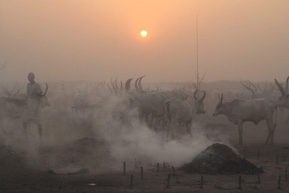 Kuhdungrauch als natürlicher Mückenschutz