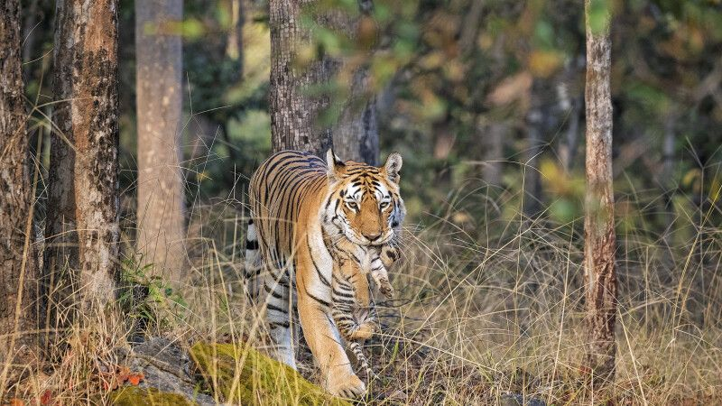 Bengalischer Tiger mit Tigerbaby © Diamir