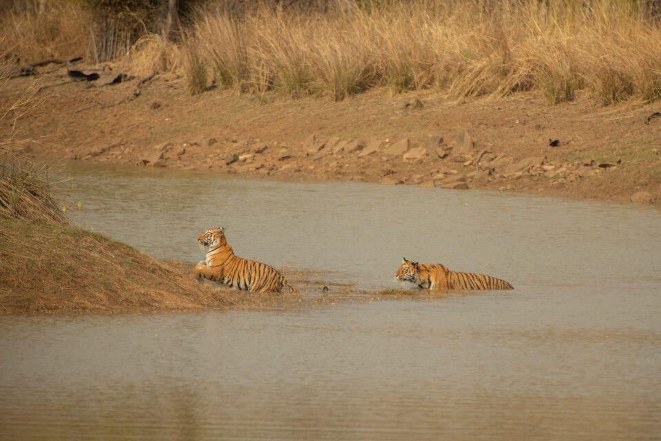 Pench, Tadoba-Nationalpark-Tiger