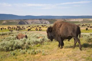 Bisonherde im Yellowstone-Nationalpark, Wyoming