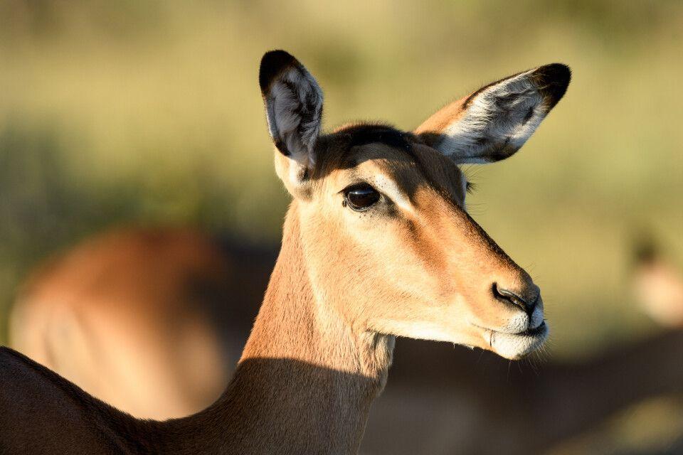 Allgegenwärtig, aber nicht immer geduldig mit Fotografen: Impala