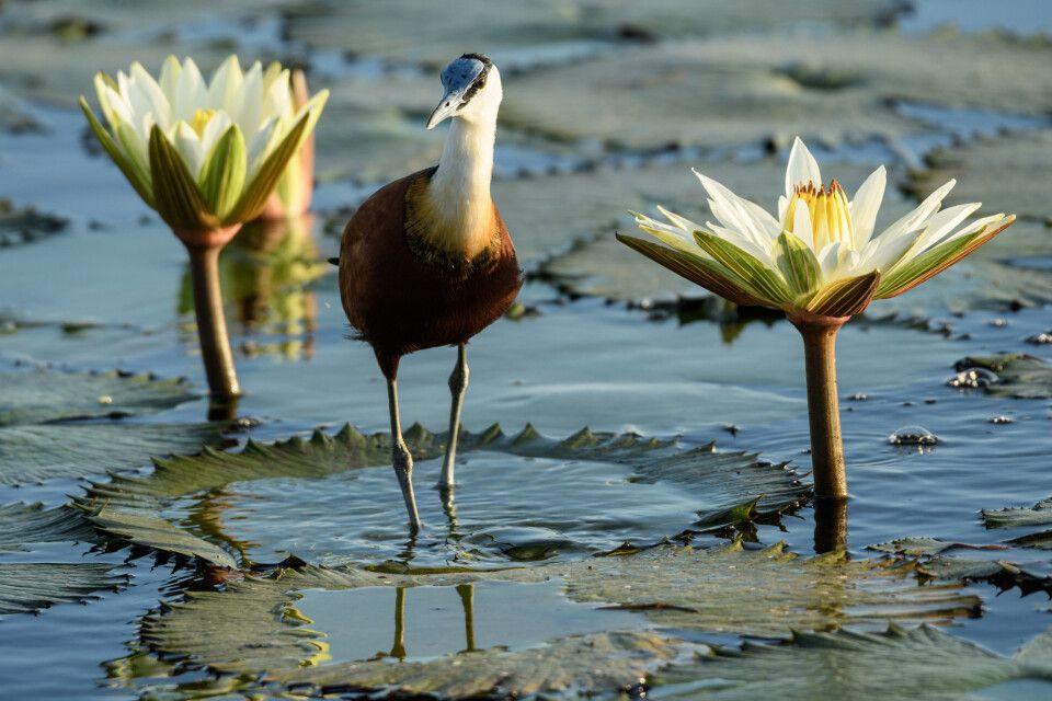 Afrikanische Ikone: Das Blaustirn-Blatthühnchen - oder Jacana - darf bei keiner Bootstour und bei keinem Mokoro-Ausflug fehlen.