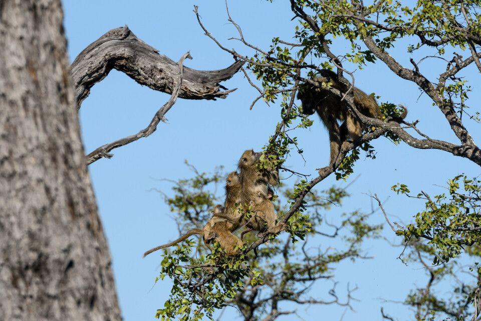Aggressivität pur: Ein Pavianmännchen versucht, Weibchen mit Jungtieren von einem Baum zu vertreiben, in dem er vehement den Ast schüttelt, an den sich die Tiere verzweifelt klammern.
