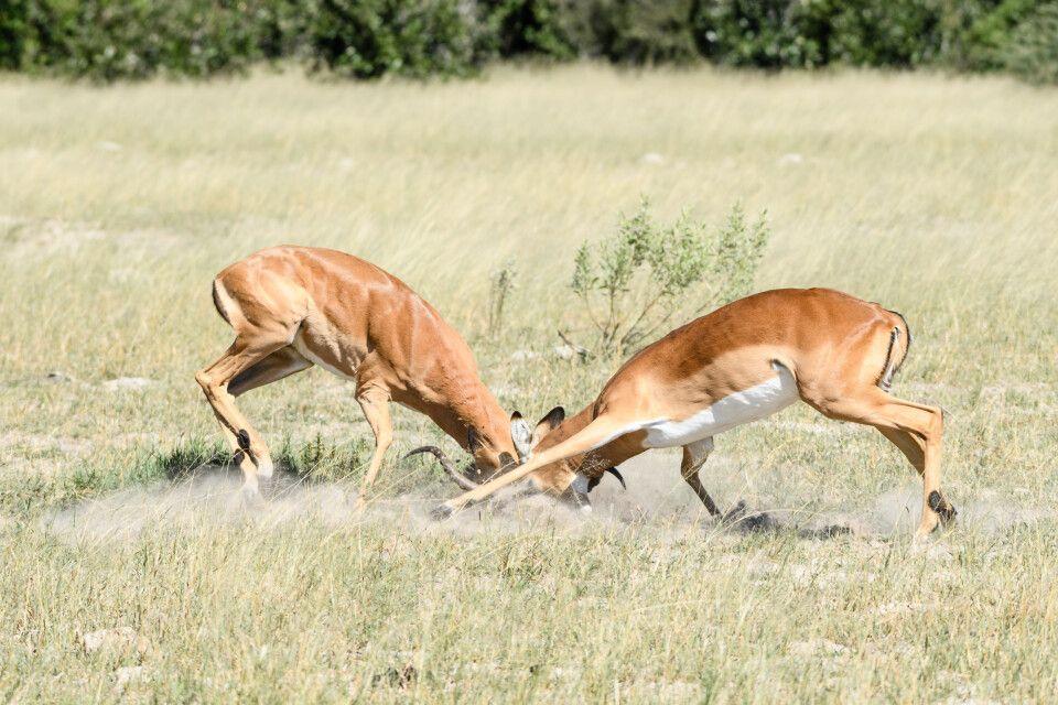 Da staubt's: Impalaböcke klären im Kampf die Machtverhältnisse.