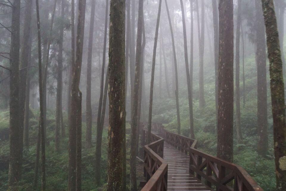 Am Alishan führen hölzerne Wege und Brücken durch eine faszinierende Baumlandschaft.