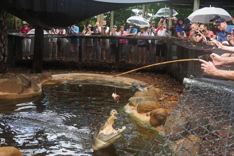 """Zooerlebnis mal ganz auf Australisch – Fütterung mit """"action"""" beim Krokodil. Da schnappen die Schnappmäuler aber mal so richtig und zeigen, was für Sprungkraft in ihnen steckt."""