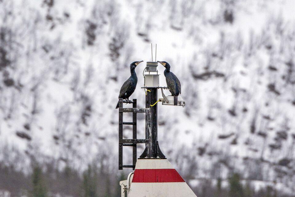 Kormorane im Fjord
