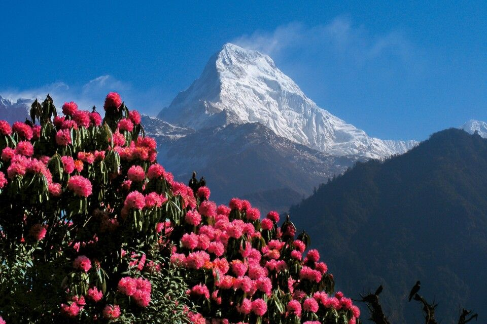 Rhododendron-Blüte im Frühling