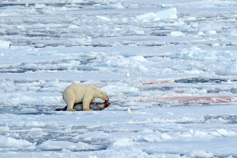 Eisbär mit reicher Beute