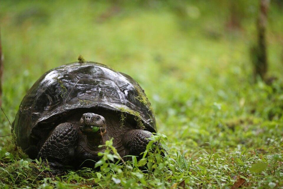 Riesenschildkröte im Regen unterwegs