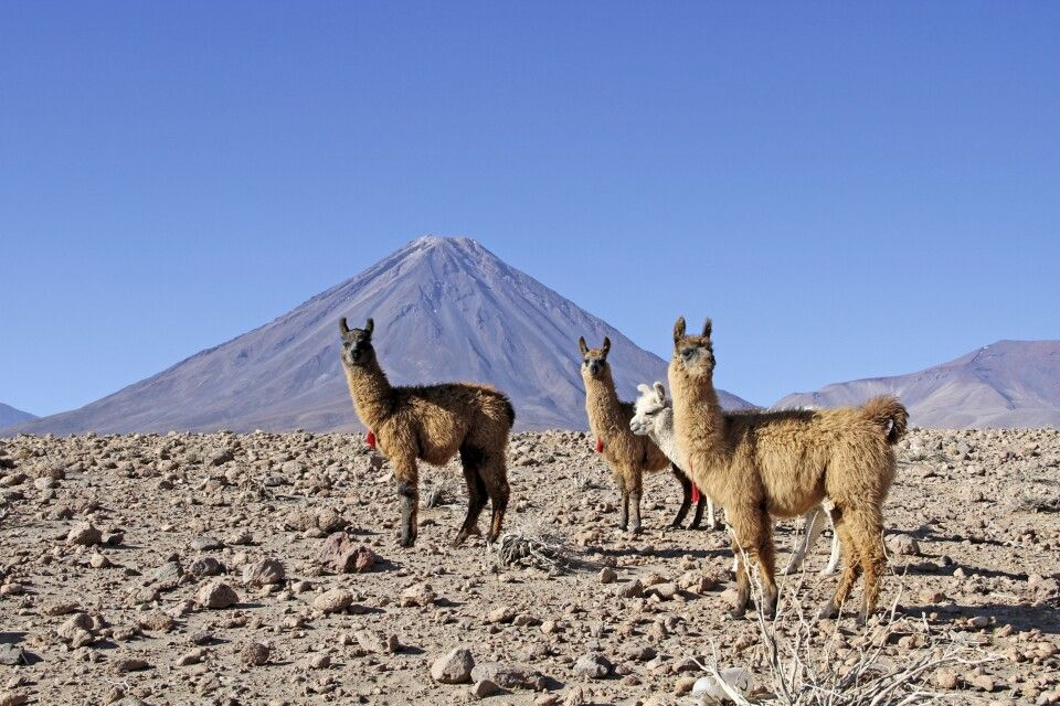 Lamas vor dem Vulkan Licancabur