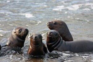 Seelöwen auf der Insel Espiritu Santo