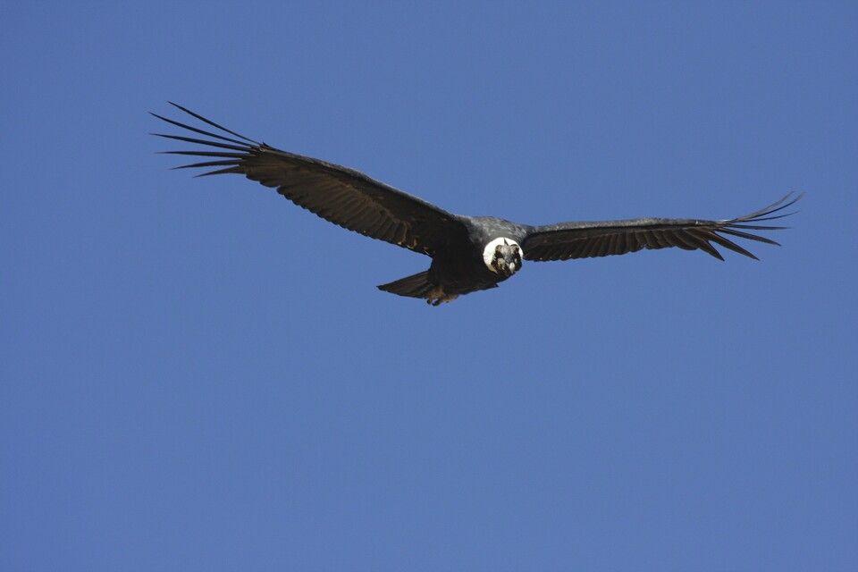 Kondor am Cruz del Condor, Colca-Tal