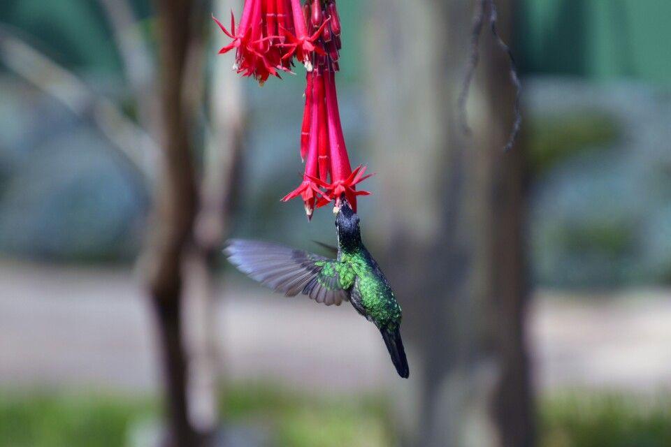 Kolibri an tropischer Blüte